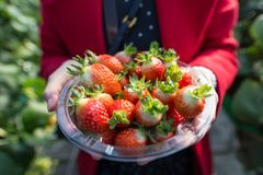 A woman showing a plastic container filled with strawberries. A plastic bowl full of red strawberries is held by a woman royalty free stock images