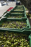 Plastic boxes with olives. Olives in green plastic baskets ready for processing on island Brac in Croatia royalty free stock photography