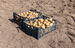 Plastic boxes with potatoes a new harvest Royalty Free Stock Photos
