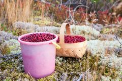 Free Plastic Bucket And Basket Full Of Red Cranberry On A Moss In The Karelian Woods, Russia Royalty Free Stock Photo - 104356465