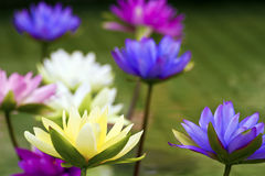 Free Plastic Colorful Decoration Lotus In Pond,Taipei Royalty Free Stock Images - 62777849