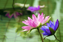 Plastic colorful decoration lotus in pond,Taipei Stock Photography