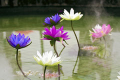 Plastic colorful decoration lotus in pond,Taipei Royalty Free Stock Photo
