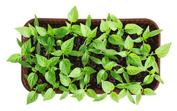 Plastic container with pepper seedlings plants isolated Royalty Free Stock Photos