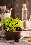 Plastic container with pepper seedlings plants Royalty Free Stock Photos