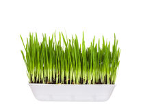 Plastic container with young green sprouts Royalty Free Stock Image