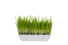 Plastic container with young green sprouts Royalty Free Stock Images