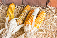 Plastic Corns Put On Hays. Royalty Free Stock Photos
