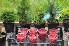 Plastic cups with raspberries in box. On background of plant pots Royalty Free Stock Photography
