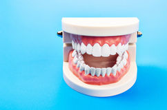 Plastic dental teeth model. Royalty Free Stock Photos