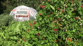 Plastic greenhouse hothouse in farm and blossoming beans plants stock footage