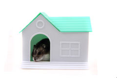 Plastic house toy with dzungarian hamster. Isolated on the white background Stock Photos