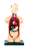 Plastic human body model. With organs on white background stock images