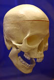 Plastic Human Skull. A plastic human skull decoration photographed on a blue background. Great for Halloween or everyday science and biology classes Royalty Free Stock Photo