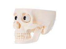 Plastic human skull Stock Image