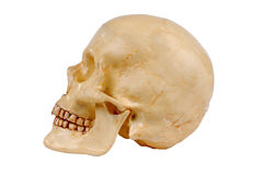 Plastic Human skull model. Side view of Plastic Human skull model isolated over white Stock Image