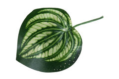 Plastic leaf house plant macro Stock Photo