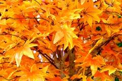Plastic Maple leaf stock images