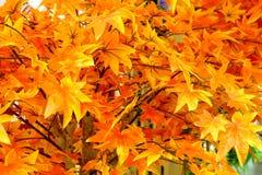 Plastic Maple leaf stock image
