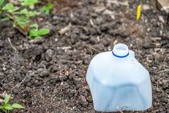 Free Plastic Milk Jug Cut In Half To Cover Garden Plants To Protect From Pests Royalty Free Stock Image - 183911296