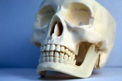 Plastic model of a human skull royalty free stock images