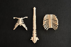 A plastic model of a human spine Royalty Free Stock Photo
