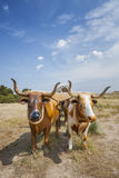 Plastic Oxen Pulling Covered Wagon Stock Images