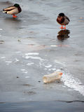 Plastic pollution in winter settings. A plastic bottle and two sleeping ducks on ice Stock Photos