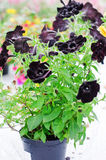 Plastic pot with Black Velvet Petunia Royalty Free Stock Images