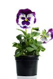 Plastic pots with blue purple pansy Royalty Free Stock Photo