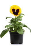 Plastic pots with yellow pansy Stock Image