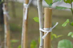 Plastic rope tied bamboo with tree to strength Stock Photography