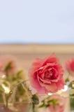 Plastic rose Stock Photos