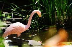 Plastic Roze Flamingo in een Vijver van de Binnenplaatstuin Royalty-vrije Stock Foto