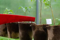 Plastic sprinkling can or funnel watering tomato plant in the greenhouse. Organic home grown tomato plants without vegetables. Being watered stock photo