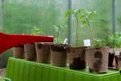 Plastic sprinkling can or funnel watering tomato plant in the greenhouse. Organic home grown tomato plants without vegetables. Being watered stock photos