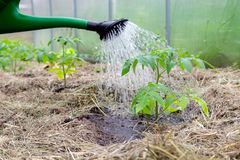 Plastic sprinkling can or funnel watering tomato plant in the greenhouse. Organic home grown tomato plants without vegetables. Surrounded by mulch being watered royalty free stock photo