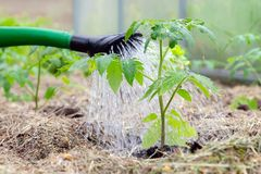 Plastic sprinkling can or funnel watering tomato plant in the greenhouse. Organic home grown tomato plants without vegetables. Surrounded by mulch being watered stock image