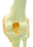 Plastic study model of a knee replacement Stock Image