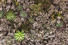 Plastic synthetic reproduction of succulents Flower Arrangement. In very high concentration stock photo
