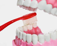 Plastic teeth and gum model and toothbrush Royalty Free Stock Photography
