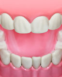 Plastic teeth and gum model and toothbrush Royalty Free Stock Photo