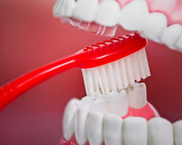 Plastic teeth and gum model and a toothbrush Royalty Free Stock Photography
