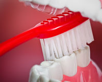 Plastic teeth and gum model and a toothbrush Stock Image