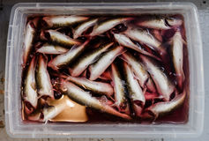 Plastic Tray full Tomcod in Bloody water. Stock Photos