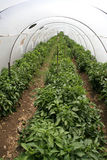 Plastic tunnel greenhouse Royalty Free Stock Image