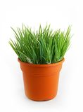 Plastic wheat grass. On pot Royalty Free Stock Photos