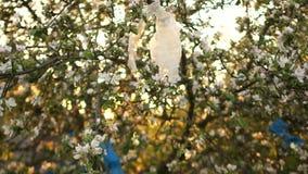 Plastic zakken op de takken van tot bloei komende appelbomen Plastic verontreiniging van de planeet, het probleem van huishoudeli stock footage