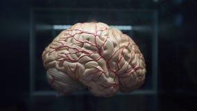 Plastikdemonstration des menschlichen Gehirns stock footage