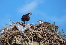 Plastikfischadler-Nest lizenzfreie stockfotografie